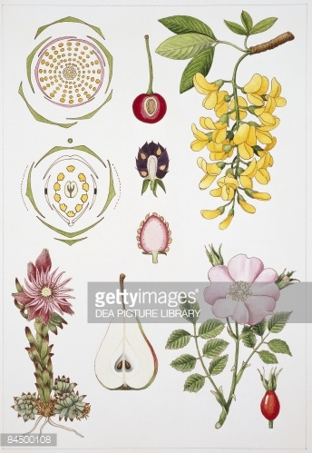 Metachlamydeae Ericales And Primulalales Illustration Stock.