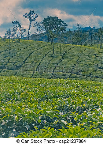 Pictures of Tea estate. Scientific classification, Kingdom:Plantae.