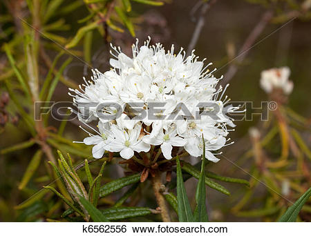 Stock Images of flower ledum (Ledum) k6562556.