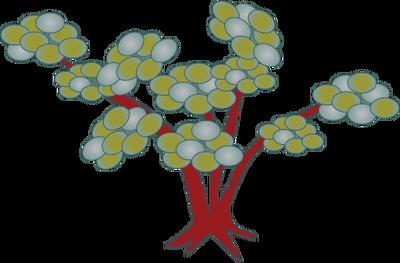 Arctostaphylos spp. (Manzanita).