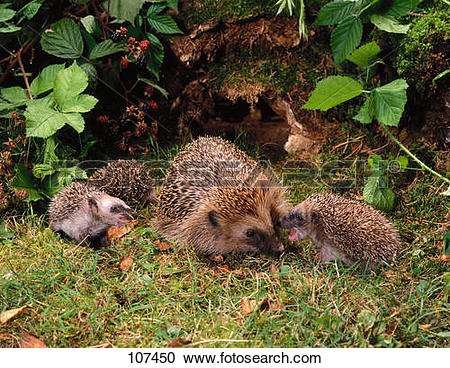 Stock Photography of hedgehog / Erinaceidae 107450.
