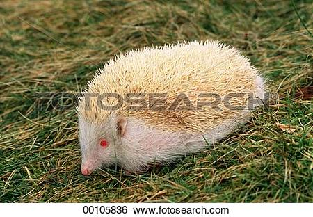 Stock Images of Erinaceidae, Juniors, afield, albino, albinos.