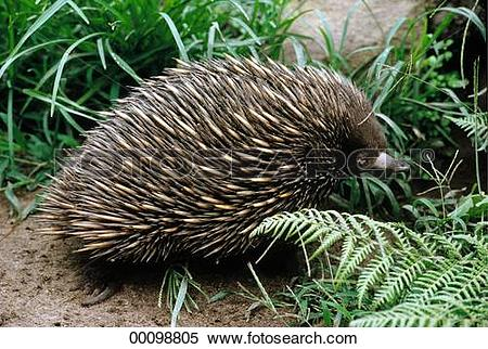 Stock Image of erinaceidae, Juniors, animals, animal, Tasmania.