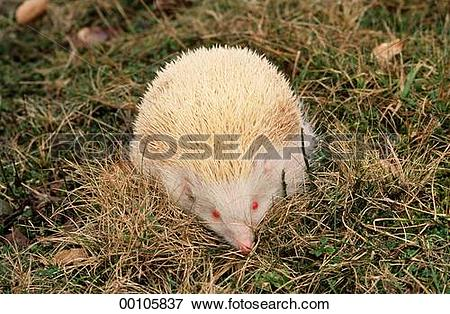 Picture of Erinaceidae, Juniors, afield, albino, albinos, animal.