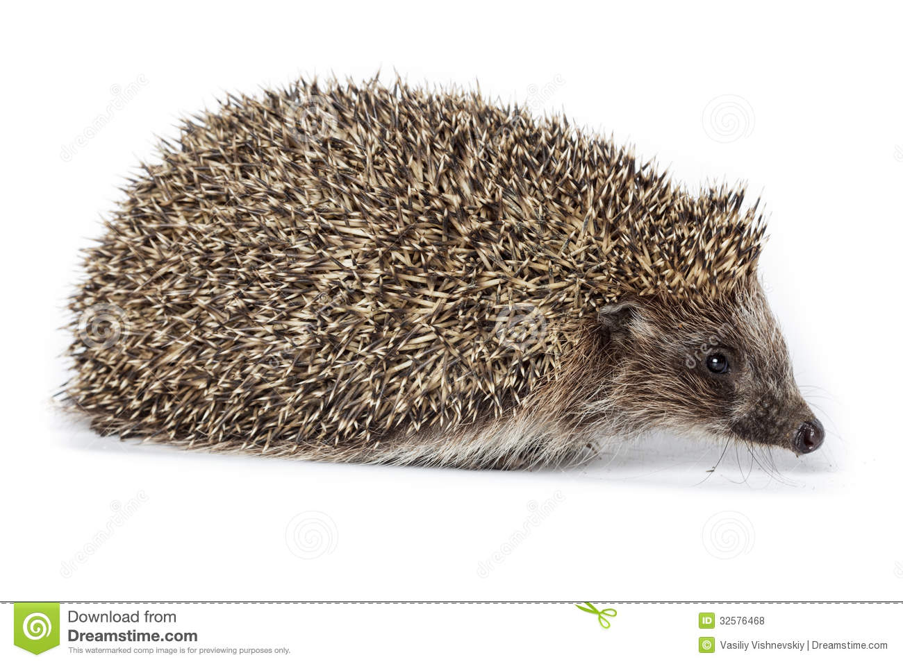Erinaceus Europaeus, Western European Hedgehog. Royalty Free Stock.