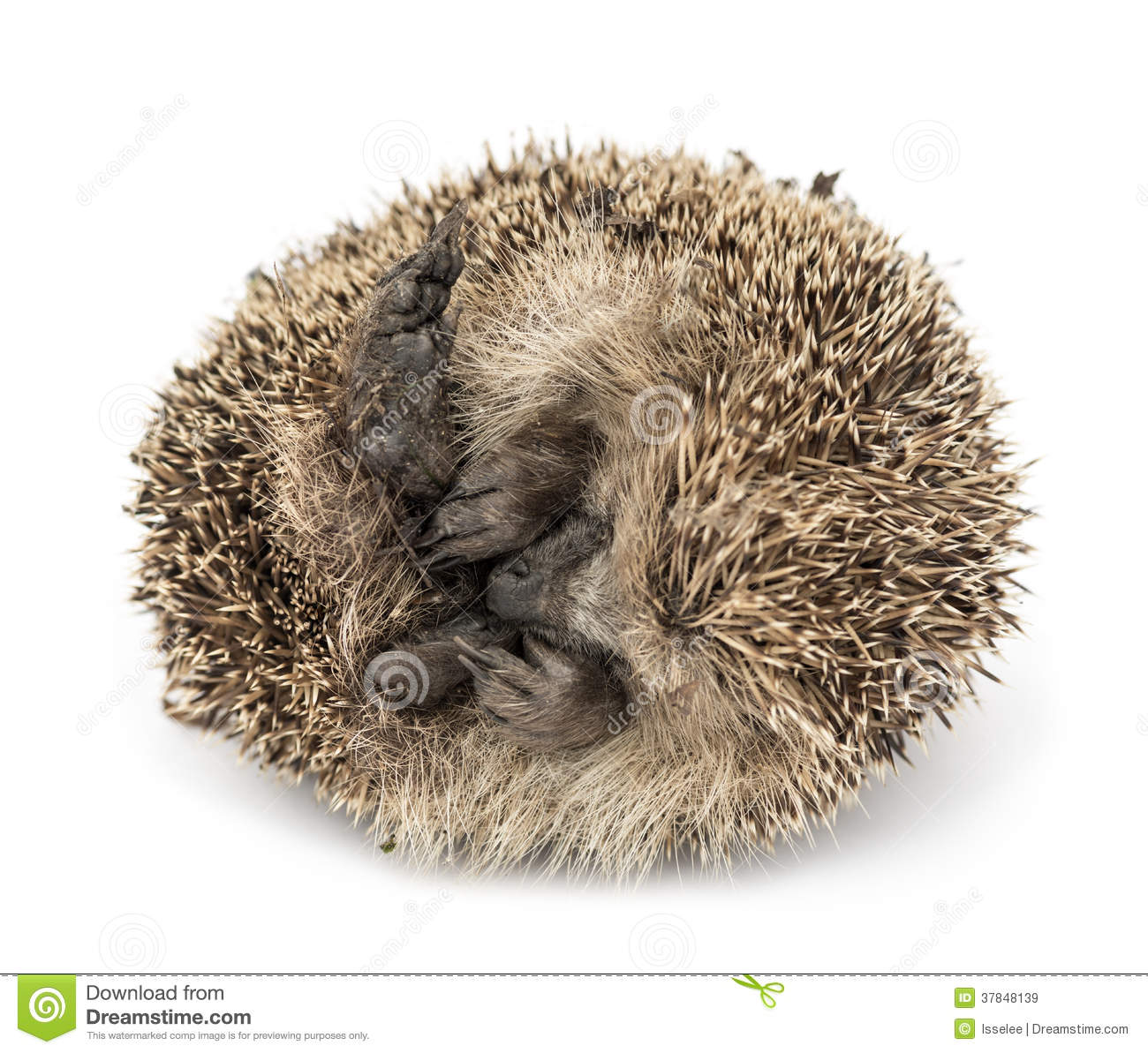 Dead Common Hedgehog, Erinaceus Europaeus Royalty Free Stock.