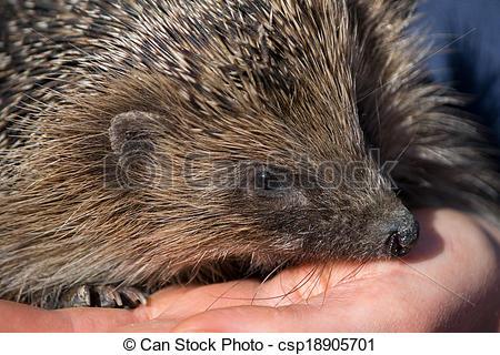 Stock Photography of European Hedgehog (Erinaceus europaeus.