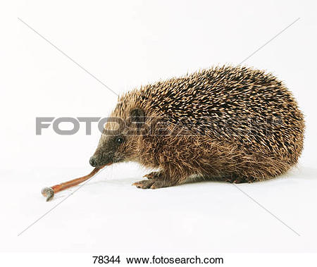 Stock Photo of European Hedgehog munching worm / Erinaceus.