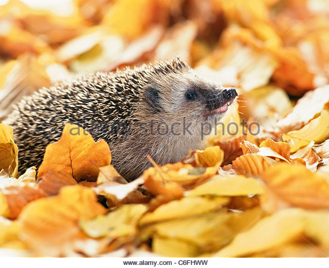 Hedgehogs Outdoors Stock Photos & Hedgehogs Outdoors Stock Images.