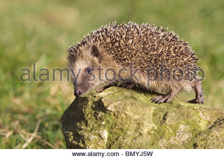 Hedgehogs Stock Photos & Hedgehogs Stock Images.