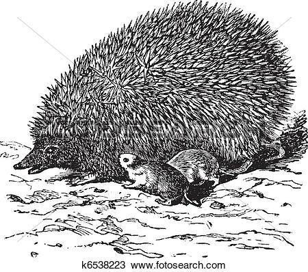 Clipart of The European Hedgehog (Erinaceus europaeus) or Common.