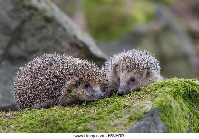 Hedgehog Pair Stock Photos & Hedgehog Pair Stock Images.
