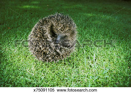 Stock Image of hedgehog erinaceus europaeus rolled into a ball.