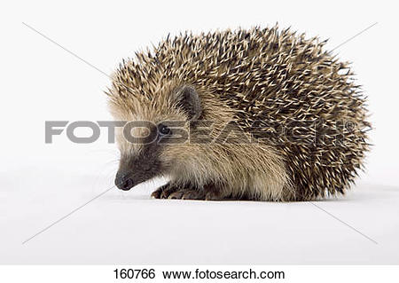 Stock Images of young European Hedgehog.
