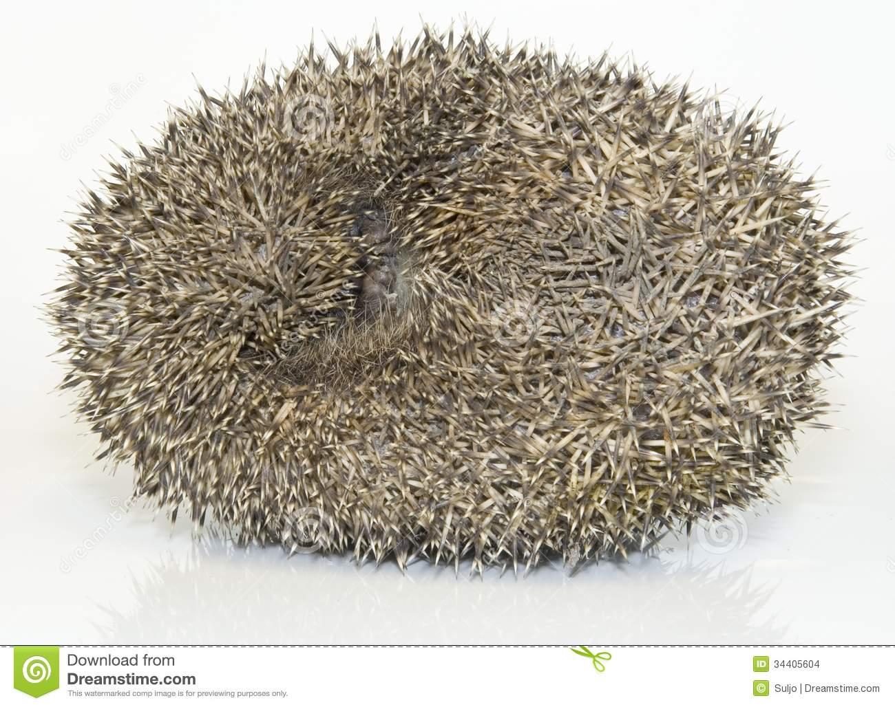Hedgehog, Erinaceus Europaeus Stock Images.
