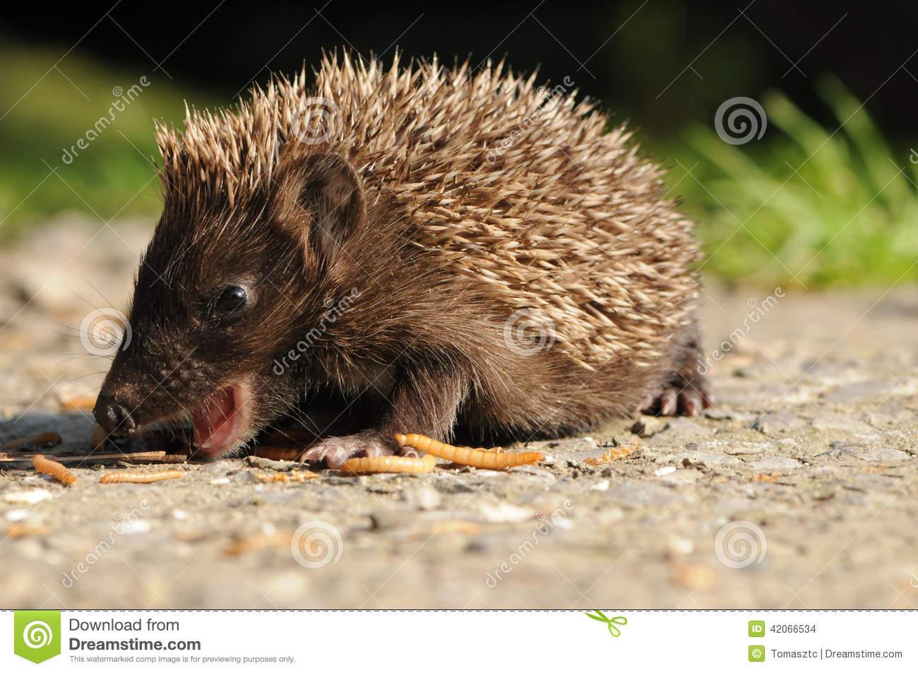 European Hedgehog (Erinaceus Europaeus) Stock Photo.
