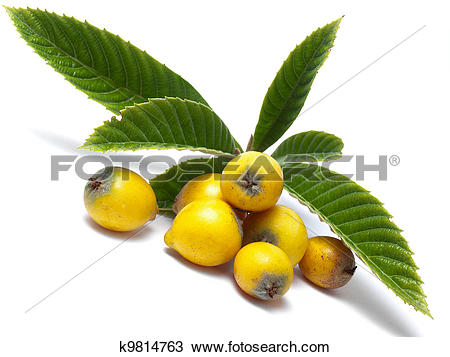 Stock Photo of Eriobotrya japonica k9814763.