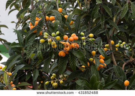 Loquat Tree Stock Photos, Royalty.