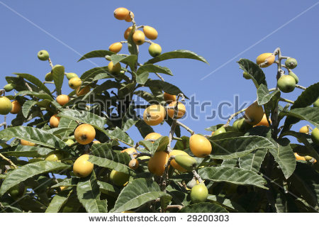 Orange Loquat Fruit. The Loquat (Eriobotrya Japonica) Is A Fruit.
