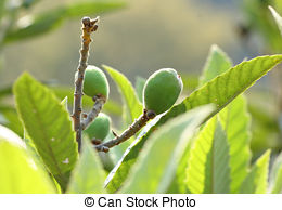 Stock Images of Ripe yellow fruits of loquat. Eriobotrya japonica.
