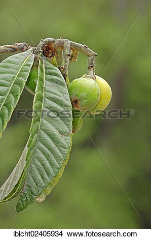 "Stock Photo of ""Japanese Medlar, Japanese Plum, Nespoli, Loquat."