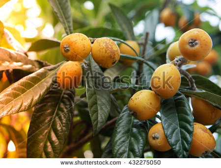 Eriobotrya Japonica Stock Photos, Royalty.