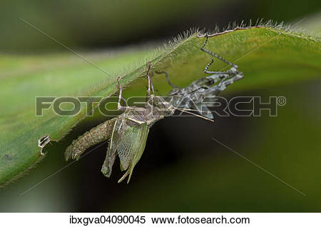 Stock Image of Grasshopper (Caelifera), hatching from nymph.