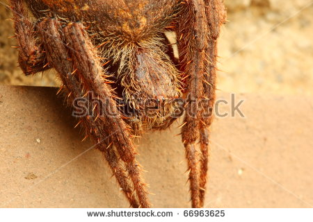 Eriophora Stock Photos, Royalty.