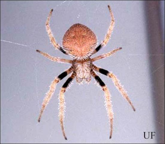 Tropical Orb Weaver Spider (Eriophora ravilla).