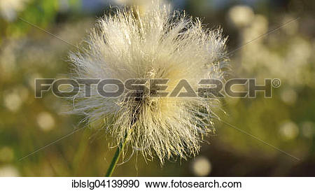 Stock Photography of Flowering Tussock Cottongrass (Eriophorum.