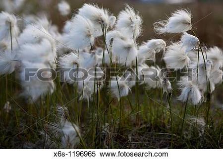 Stock Image of White cotton.