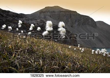 Stock Image of Arctic Cotton, Cottongrass (Eriophorum scheuchzeri.
