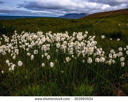 White Cottongrass Stock Photos, Royalty.