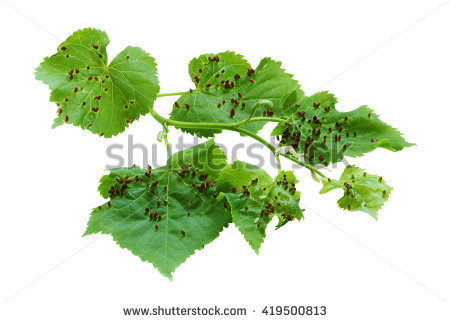 Leaf Gall Stock Photos, Royalty.