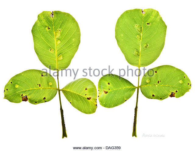 Leaf Gall Stock Photos & Leaf Gall Stock Images.