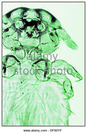 Acarid Stock Photos & Acarid Stock Images.