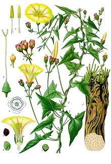 Convolvulus arvensis.