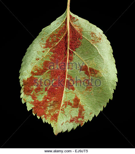 Gall Mite Stock Photos & Gall Mite Stock Images.
