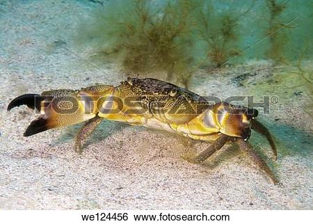 Stock Images of warty crab or yellow crab (Eriphia verrucosa.