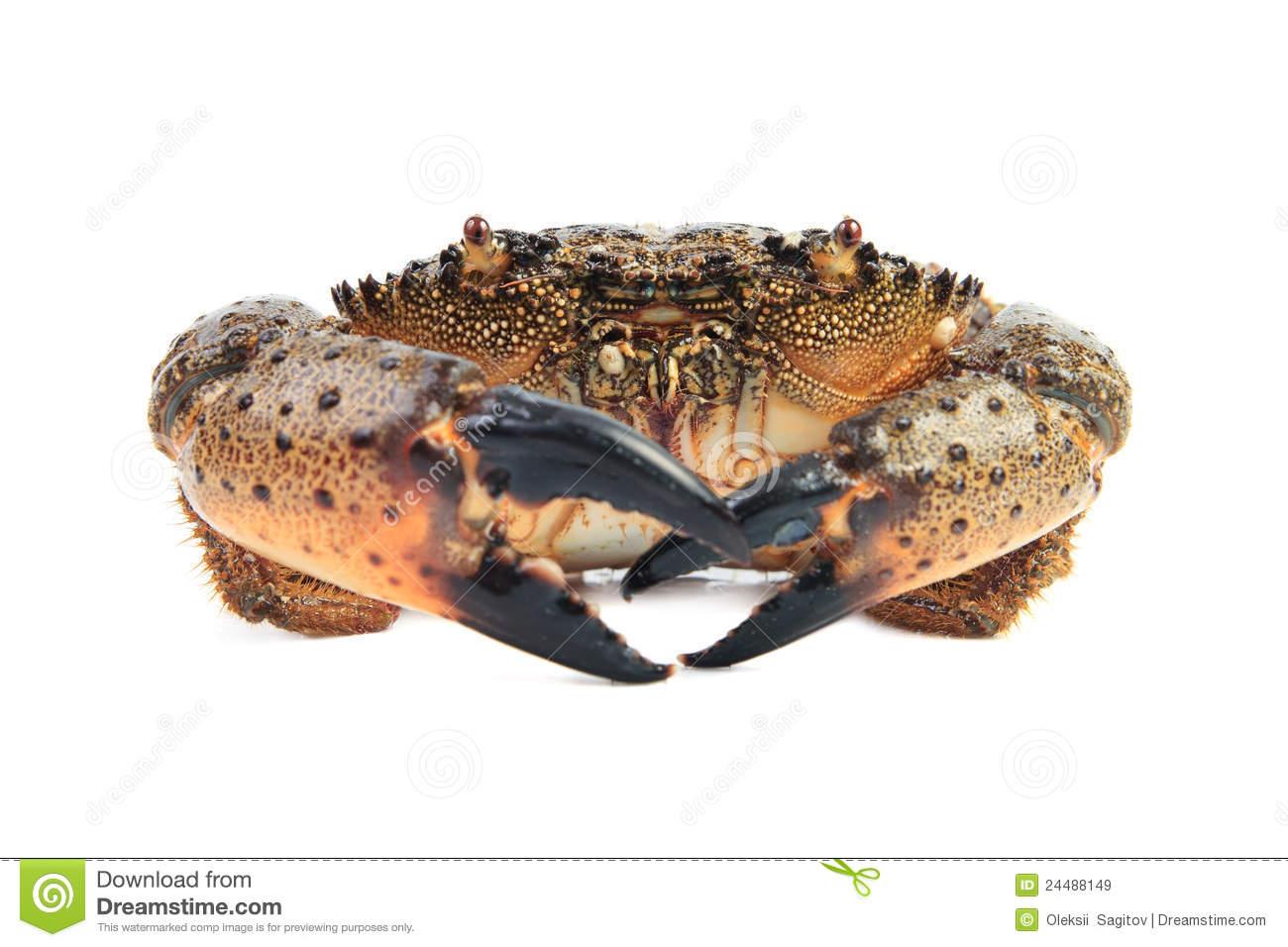 Stone Crab (Eriphia Verrucosa). Royalty Free Stock Images.