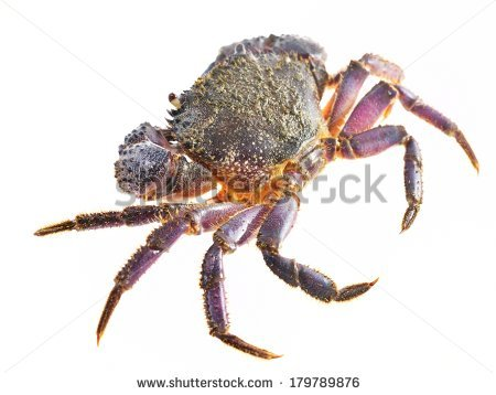 Colorful Stone Or Warty Crab Eriphia Verrucosa Isolated Stock.