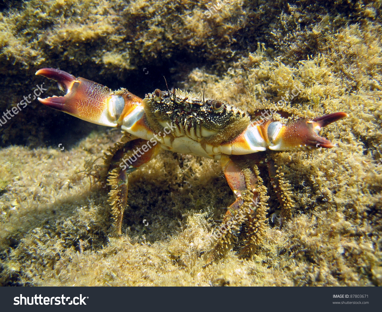 Underwater View Of Warty Crab, Eriphia Verrucosa, On Defensive.