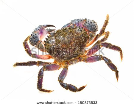 Warty Crab Stock Photos, Images, & Pictures.