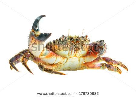Stone Crab Stock Photos, Royalty.