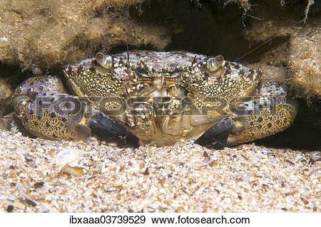 "Stock Photograph of ""Warty Crab or Yellow Crab (Eriphia verrucosa."