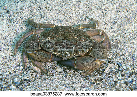 "Picture of ""Warty Crab, Yellow Crab (Eriphia verrucosa), Black Sea."