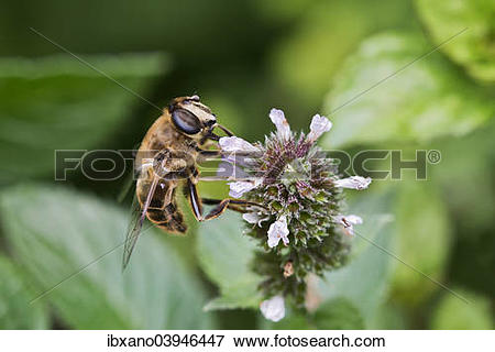 """Picture of """"Drone Fly or European Hover Fly (Eristalis tenax."""