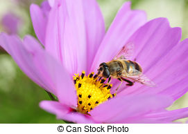 Stock Photographs of Drone fly (Eristalis tenax) on a flower.