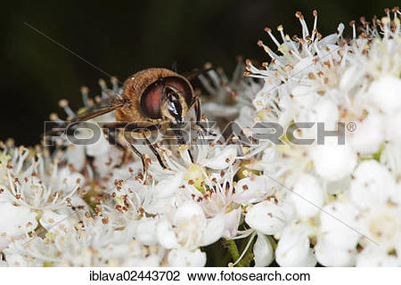 """Stock Photo of """"Drone fly (Eristalis tenax), collecting nectar."""