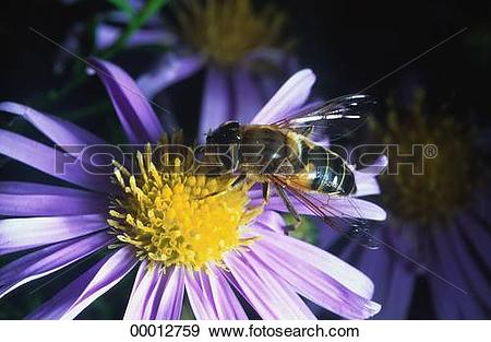 Stock Photograph of Eristalis, Eristalis tenax, Juniors, animal.